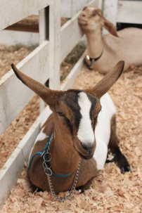 Goats. Are. Great.